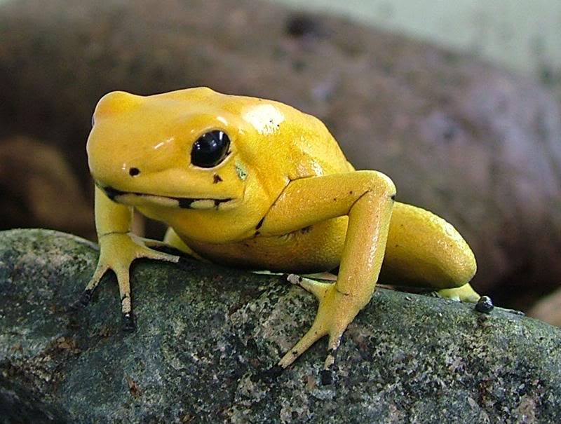 Golden Poison Frog svg #13, Download drawings