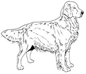 Golden Retriever coloring #13, Download drawings