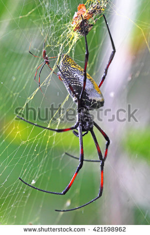 Golden Silk Orb-weaver Spider clipart #9, Download drawings