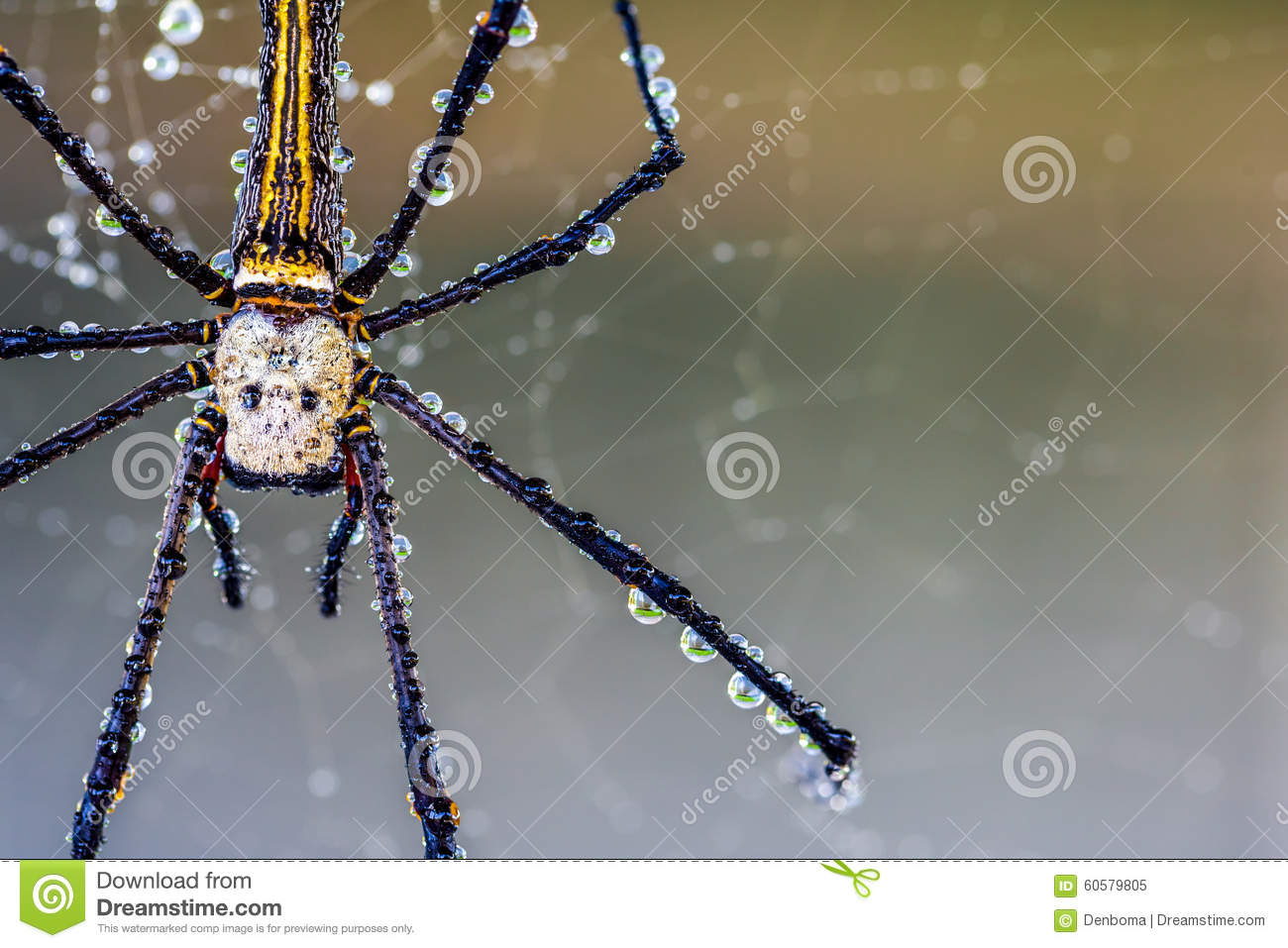 Golden Silk Orb-weaver Spider clipart #20, Download drawings