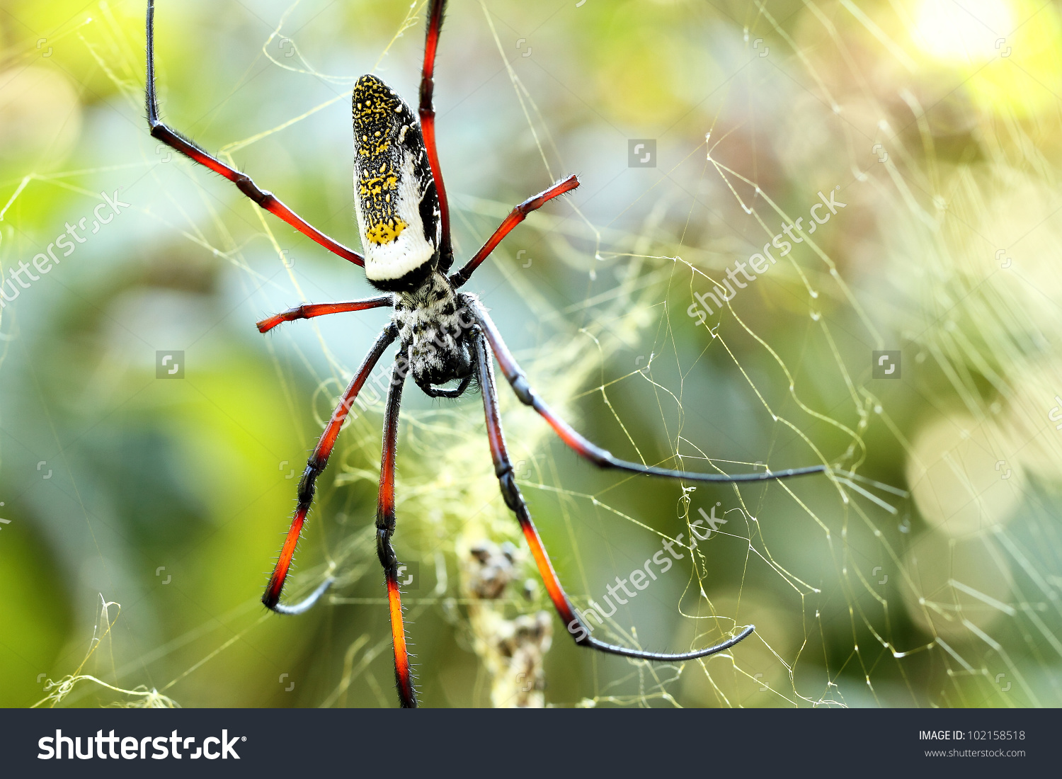 Golden Silk Orb-weaver Spider clipart #7, Download drawings