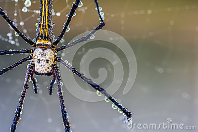Golden Silk Orb-weaver Spider clipart #19, Download drawings
