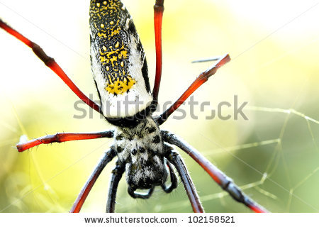 Golden Silk Orb-weaver Spider clipart #15, Download drawings