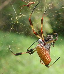 Golden Silk Orb-weaver Spider svg #20, Download drawings