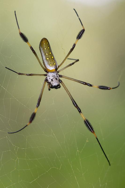 Golden Silk Orb-weaver Spider svg #9, Download drawings