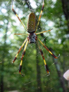 Golden Silk Orb-weaver Spider svg #7, Download drawings