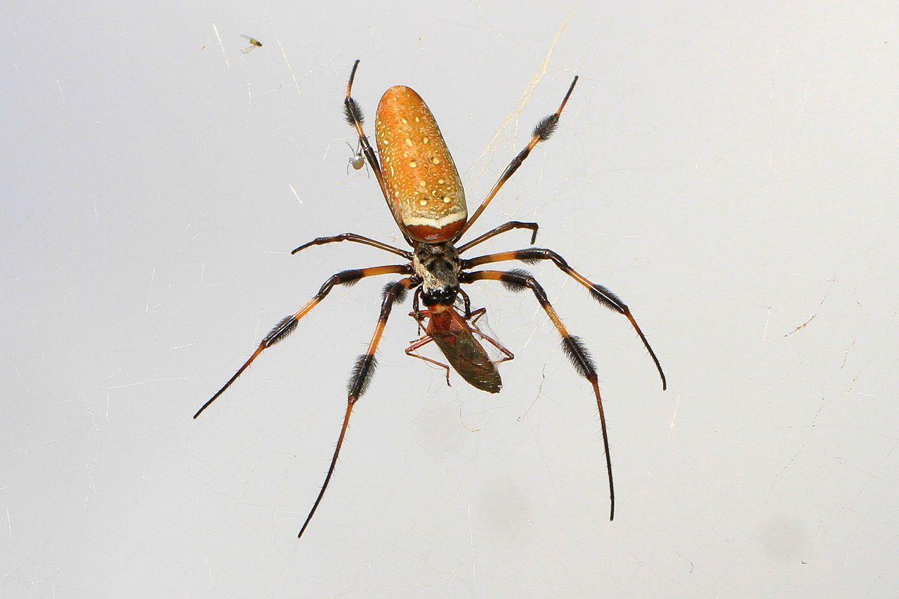 Golden Silk Orb-weaver Spider svg #6, Download drawings
