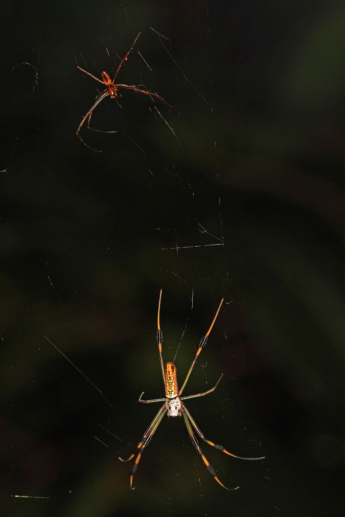 Golden Silk Orb-weaver Spider svg #8, Download drawings