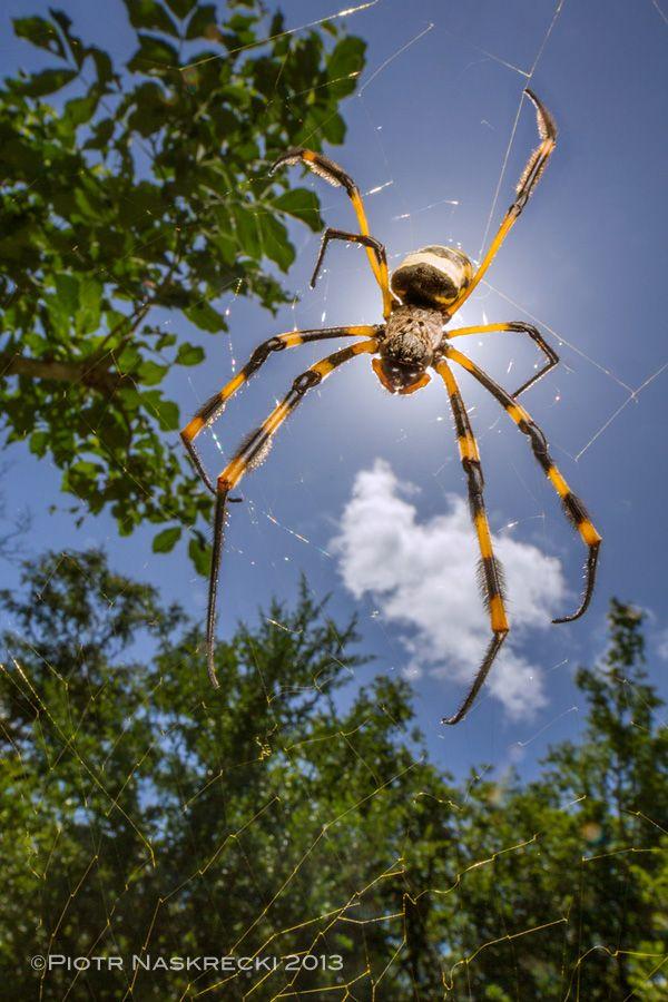 Golden Silk Orb-weaver Spider svg #4, Download drawings