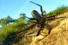 Golden Silk Orb-weaver Spider svg #19, Download drawings