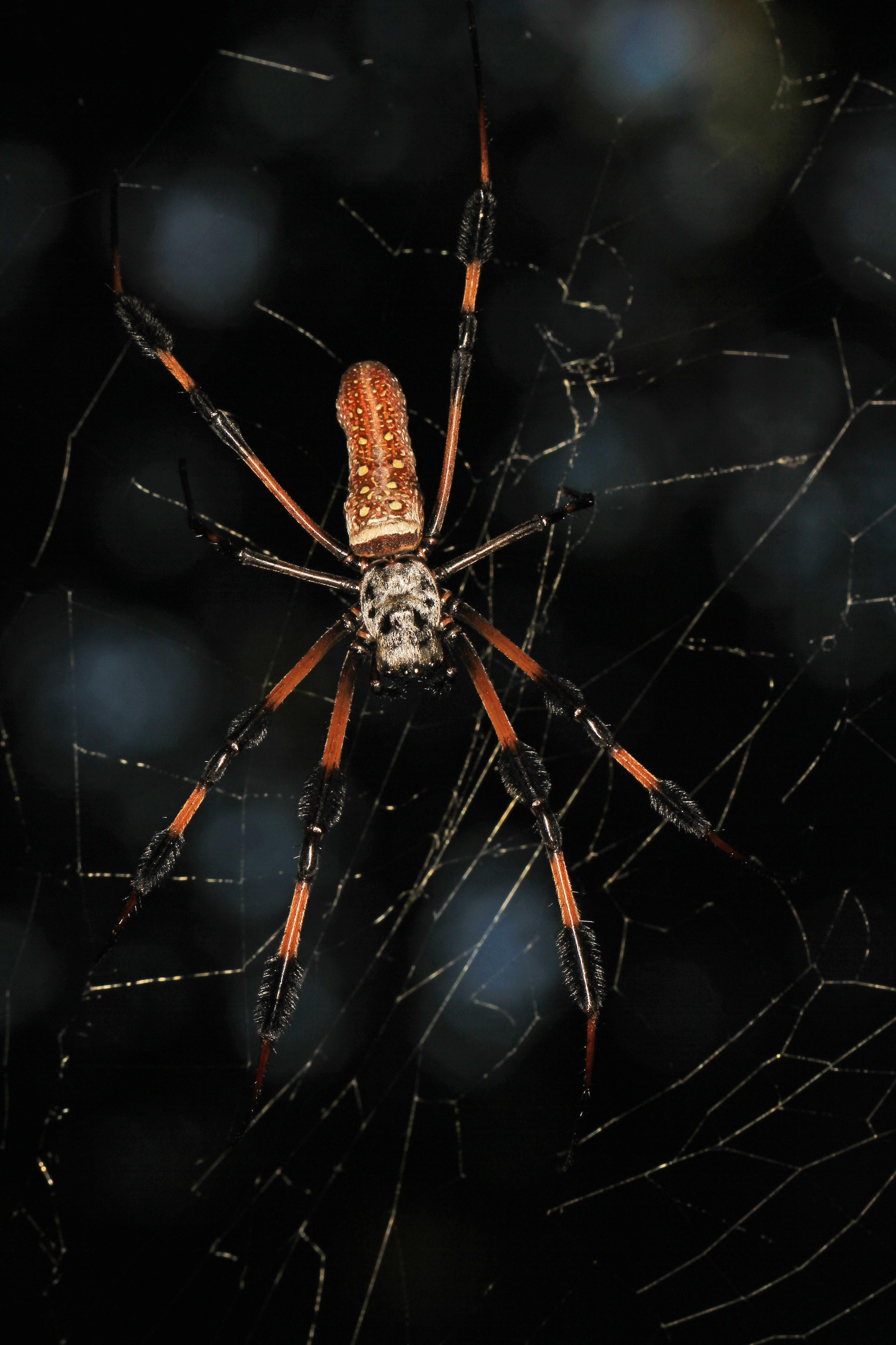 Golden Silk Orb-weaver Spider svg #2, Download drawings