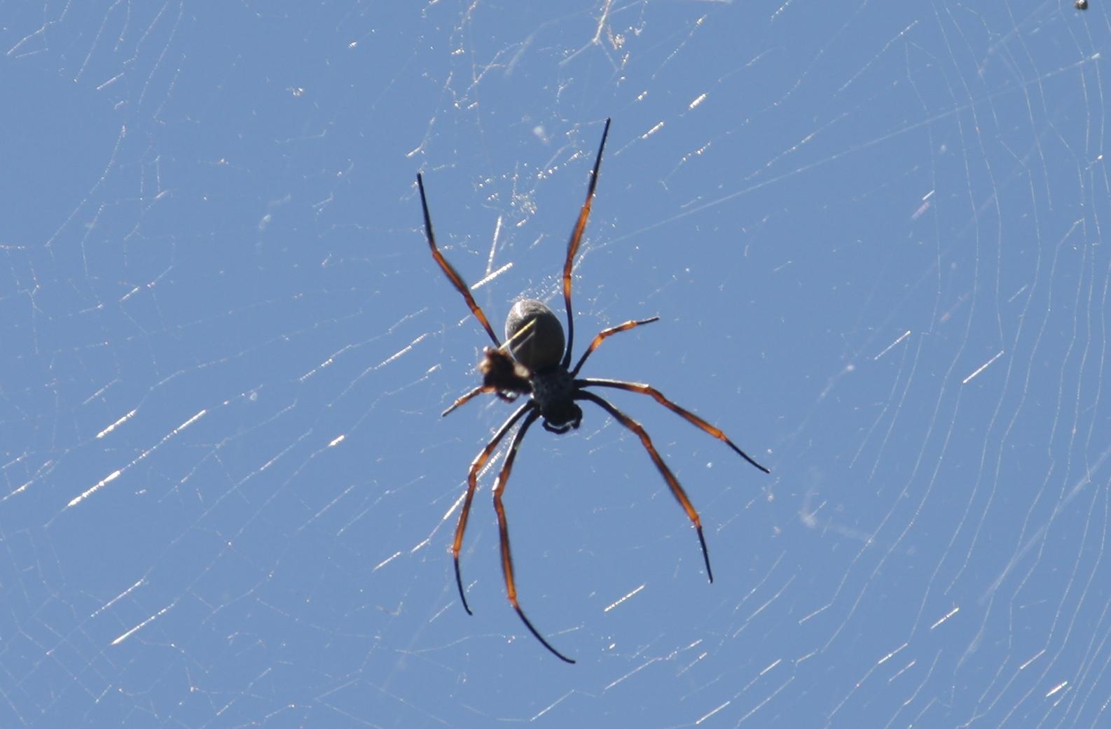 Golden Silk Orb-weaver Spider svg #12, Download drawings