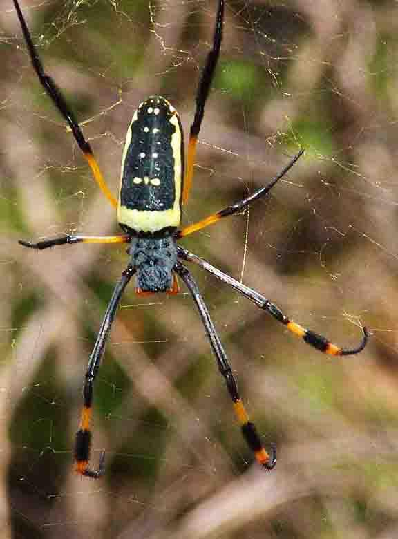 Golden Silk Orb-weaver Spider svg #14, Download drawings