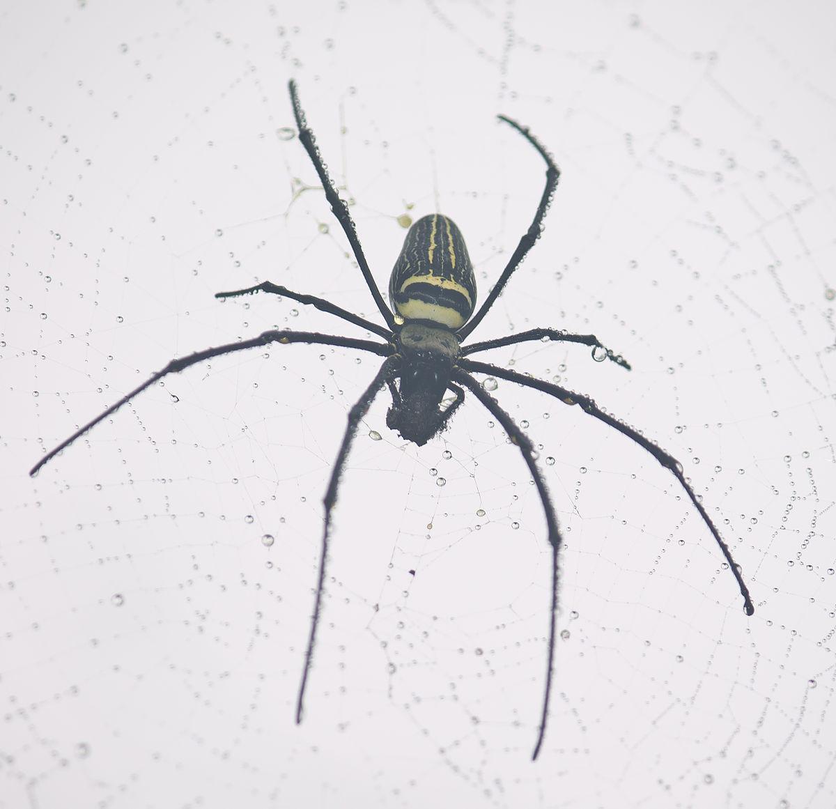 Golden Silk Orb-weaver Spider svg #16, Download drawings