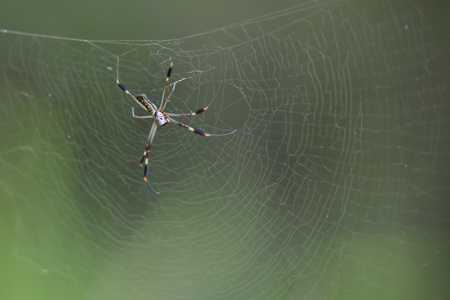 Golden Silk Orb-weaver Spider svg #11, Download drawings