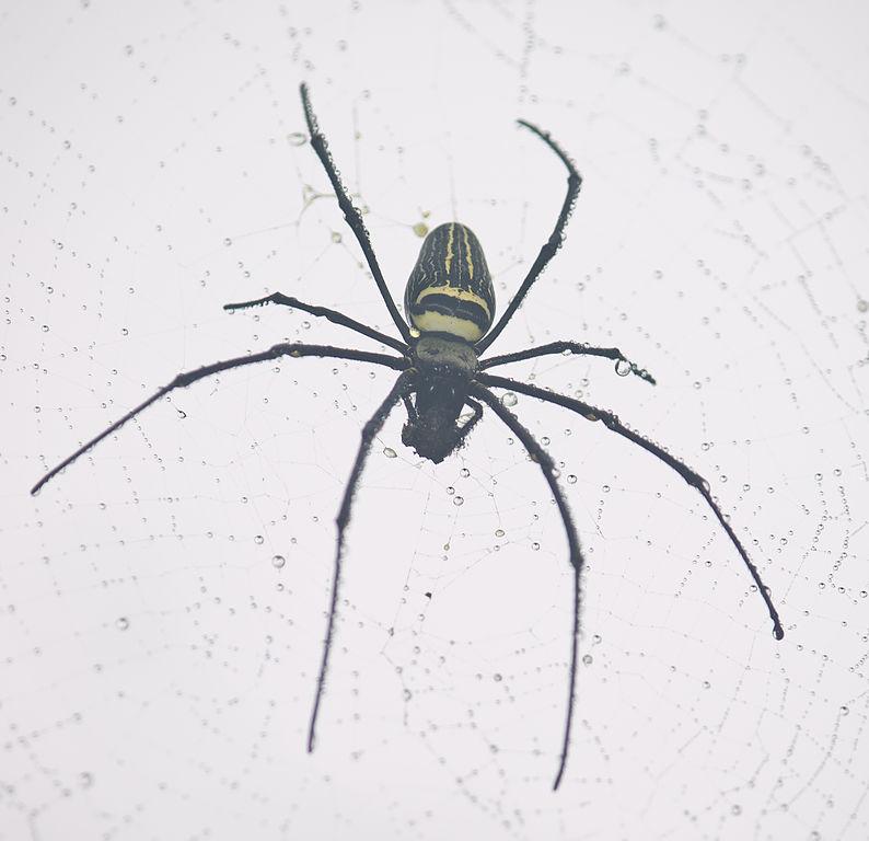 Golden Silk Orb-weaver Spider svg #15, Download drawings