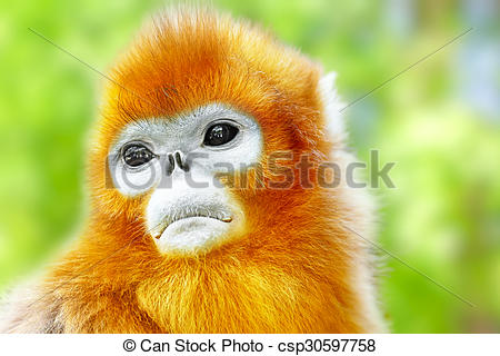Golden Snub-nosed Monkey clipart #15, Download drawings