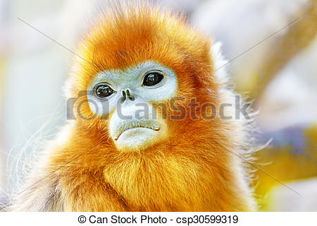 Golden Snub-nosed Monkey clipart #17, Download drawings
