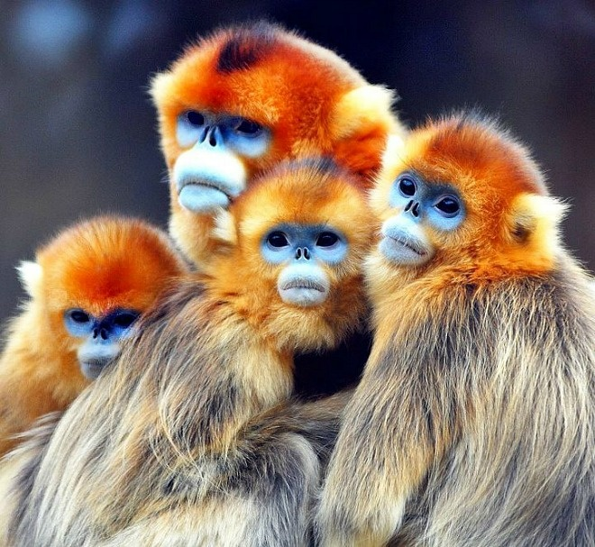 Golden Snub-nosed Monkey svg #15, Download drawings