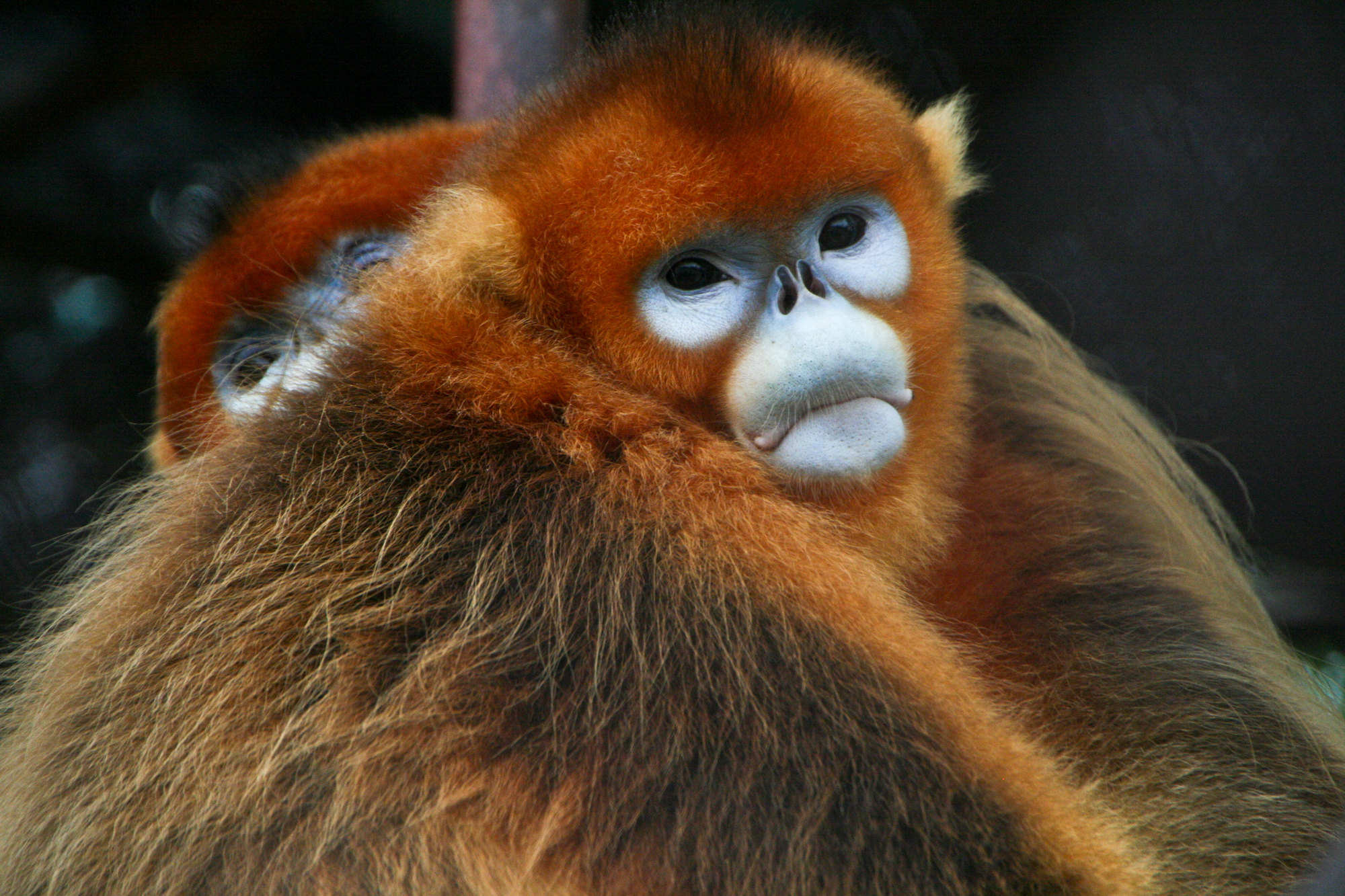 Golden Snub-nosed Monkey svg #5, Download drawings