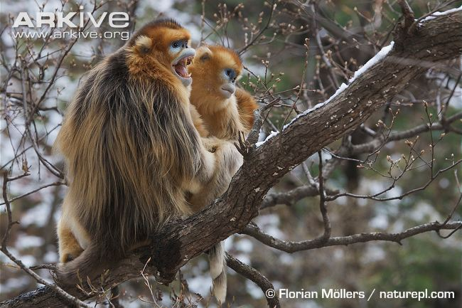 Golden Snub-nosed Monkey svg #7, Download drawings