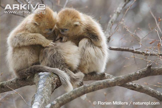 Golden Snub-nosed Monkey svg #13, Download drawings