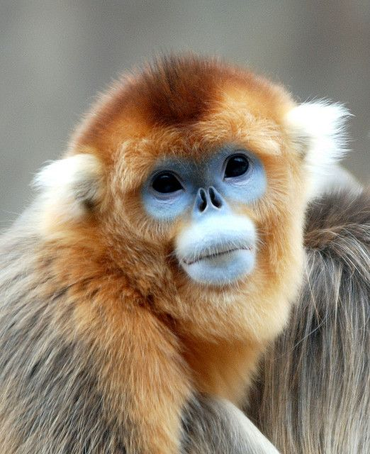 Golden Snub-nosed Monkey svg #4, Download drawings