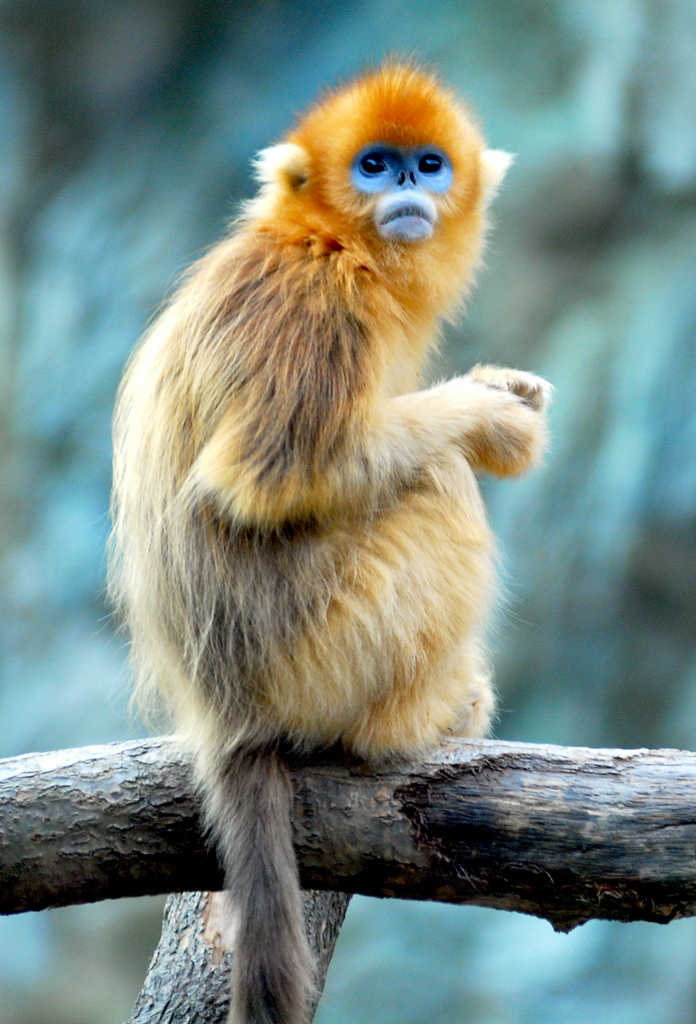 Golden Snub-nosed Monkey svg #16, Download drawings