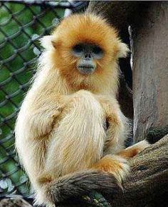 Golden Snub-nosed Monkey svg #3, Download drawings