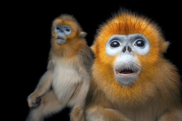 Golden Snub-nosed Monkey svg #20, Download drawings
