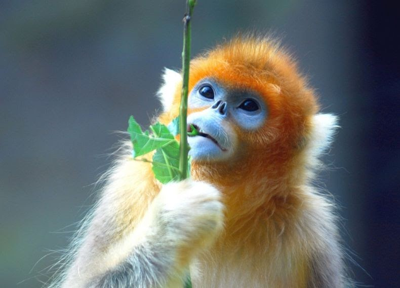 Golden Snub-nosed Monkey svg #19, Download drawings