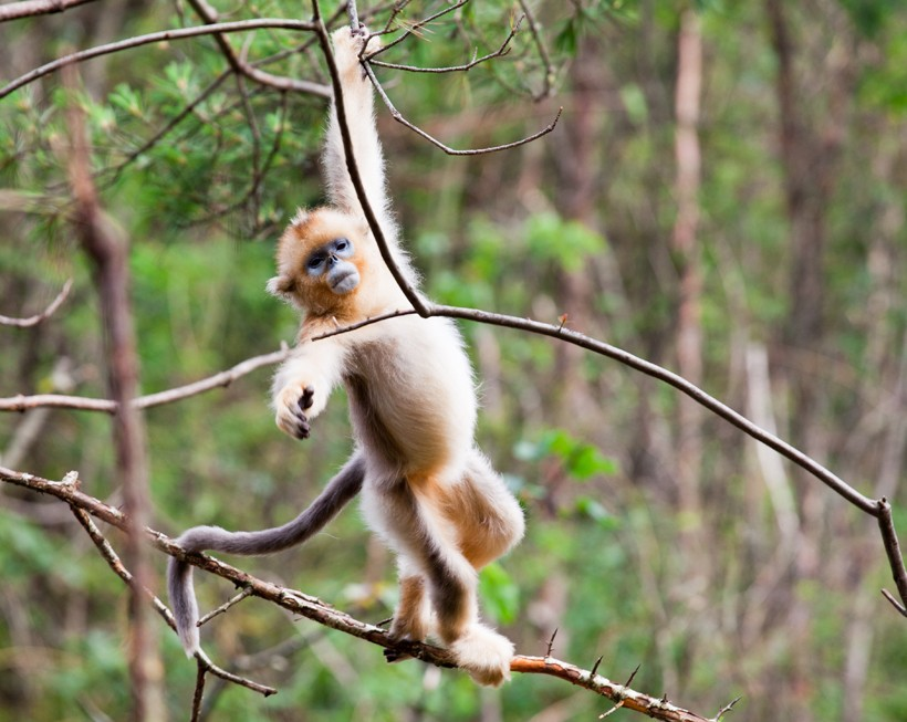 Golden Snub-nosed Monkey svg #2, Download drawings