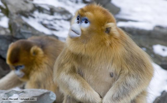 Golden Snub-nosed Monkey svg #14, Download drawings