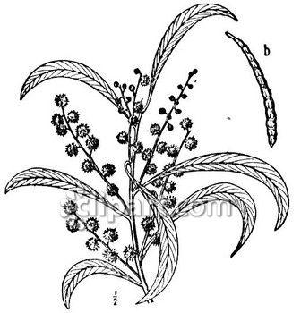 Golden Wattle clipart #1, Download drawings