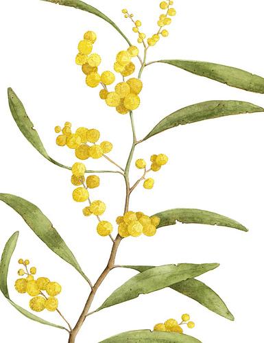 Golden Wattle clipart #6, Download drawings