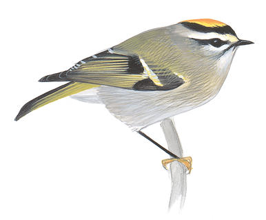 Golden-crowned Kinglet clipart #18, Download drawings