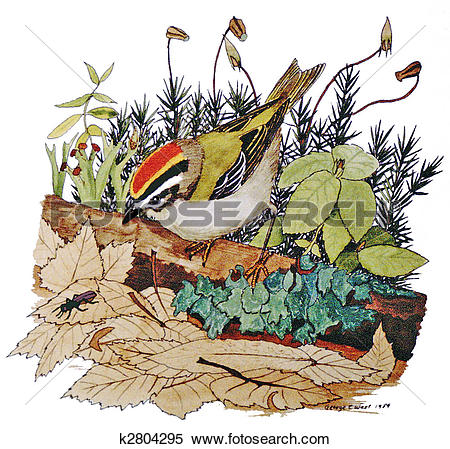 Golden-crowned Kinglet clipart #11, Download drawings