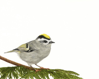 Golden-crowned Kinglet clipart #17, Download drawings