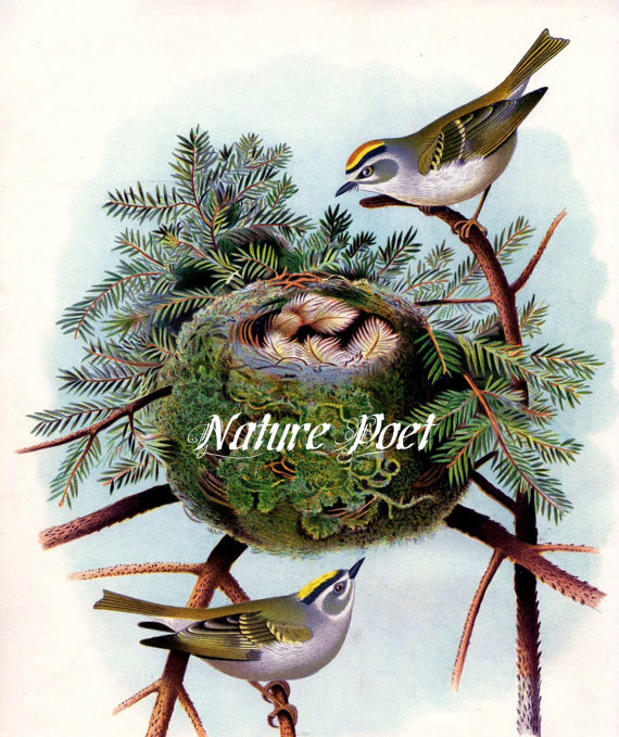 Golden-crowned Kinglet clipart #12, Download drawings