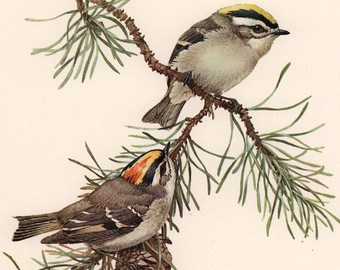 Golden-crowned Kinglet clipart #9, Download drawings