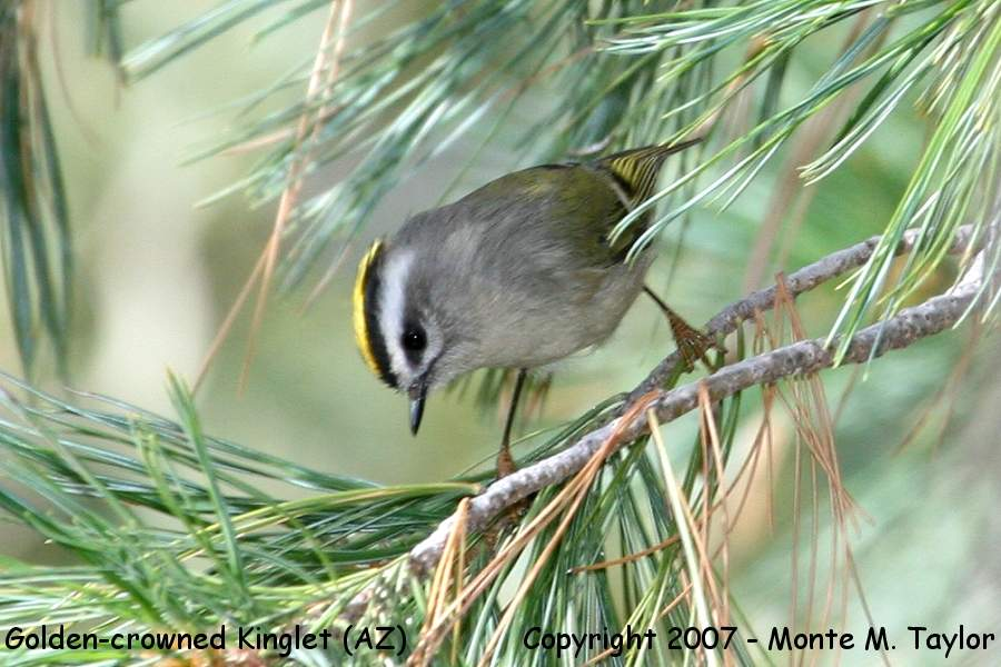 Golden-crowned Kinglet clipart #4, Download drawings