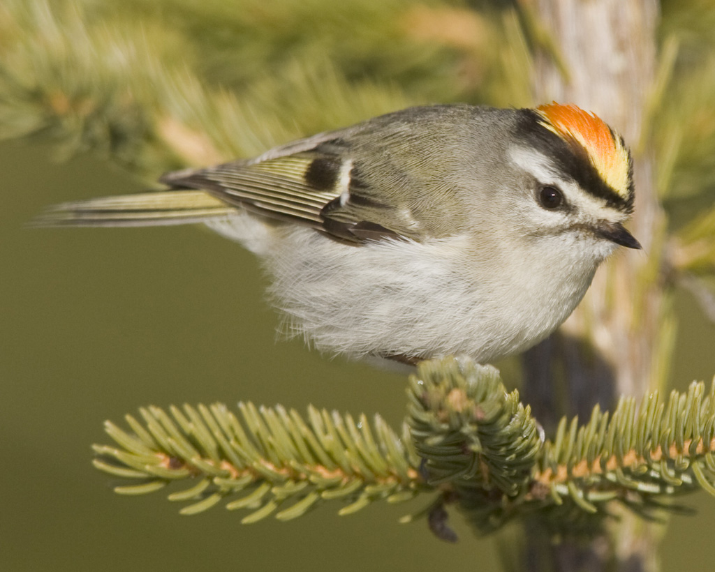 Golden-crowned Kinglet clipart #5, Download drawings