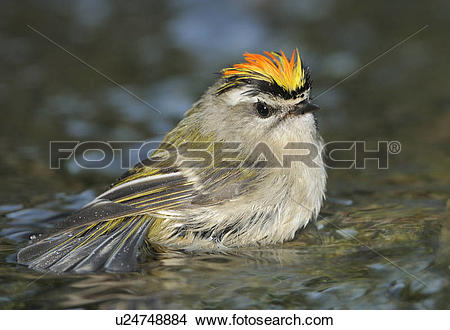 Golden-crowned Kinglet clipart #16, Download drawings