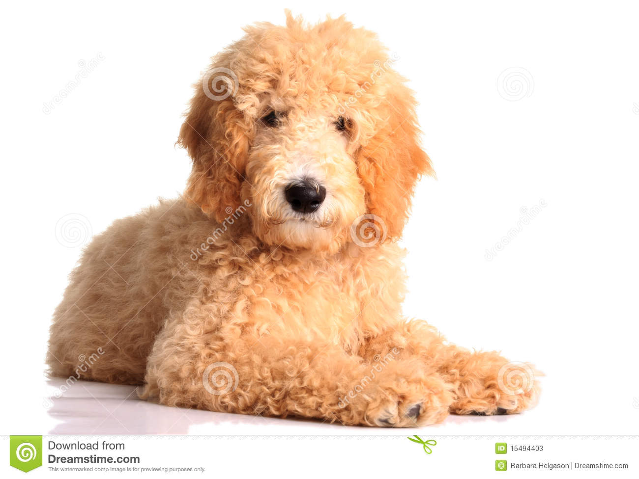 Goldendoodle clipart #19, Download drawings