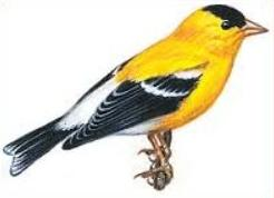 Goldfinch clipart #17, Download drawings