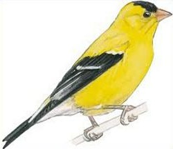 Goldfinch clipart #14, Download drawings