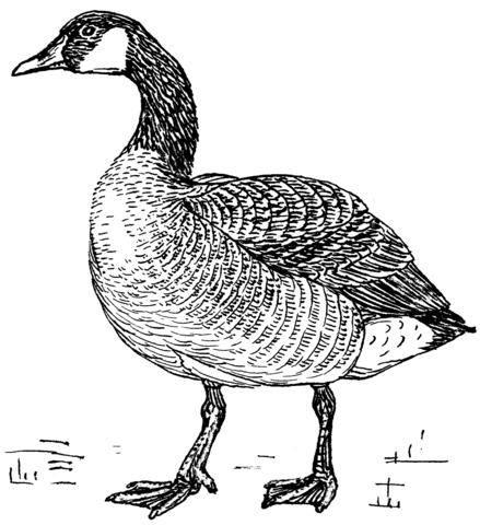 Goose coloring #2, Download drawings