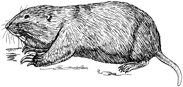 Gopher clipart #2, Download drawings