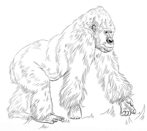 Gorilla coloring #1, Download drawings