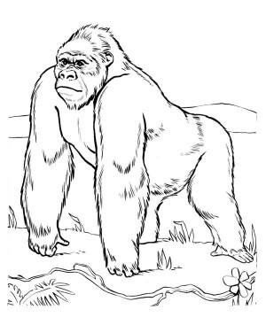 Gorilla coloring #11, Download drawings